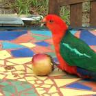 Hand-Feed the King Parrots