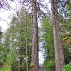 Giant Old Trees on the Property; one at Least 150' Tall and Almost 800 Years Old