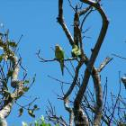 Green Parrots are Commonly Heard and Seen
