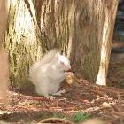 There Really Were 2 White Squirrels, we Haven't Seen them in 2 Years,  we Still Have a Picture Contest If you Spot them
