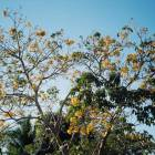 State of Colima Parota Tree