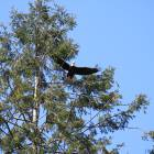 Local Eagles - There is a Large Local Population of Bald Eagles. Keep an Eye on the Sky !
