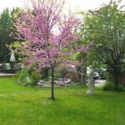 American Redbud in Bloom.