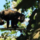 Howler Monkey as Seen from the Porch.