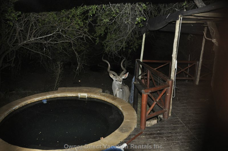 Favorite Kudu at Pool.