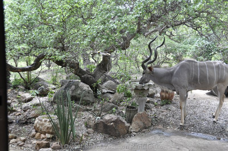 Kudu Having a Drink at the Birdbath
