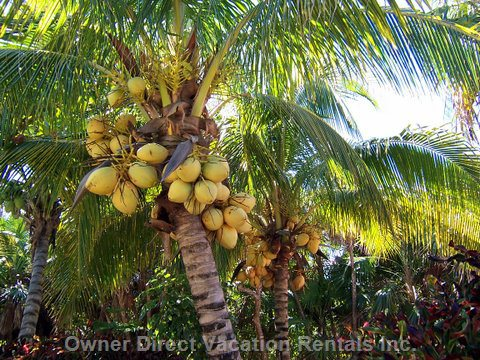 Palm Trees - Pedro Will Provide you Fresh Cut Coconuts from our Palm Trees