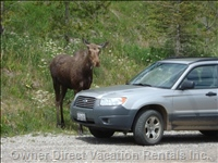 A Moose on the Loose. - Taken from the Driveway. during the Spring, Summer, and Fall, you Are Sure to See Wildlife. this Young Bull Moose is a Resident of the Neighborhood!