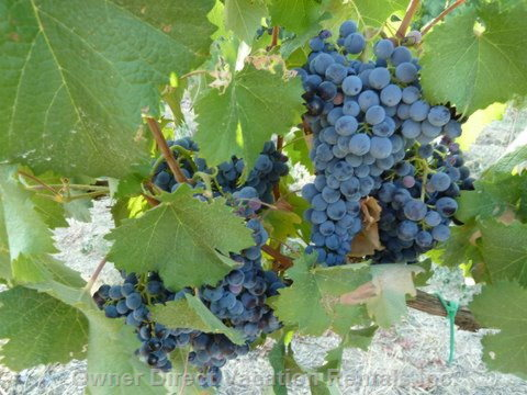 The Grapes of Sangiovese