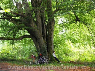 Beech Tree - one of many Trees on the Local Lusmagh Walk