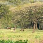 Wild Horses in Waipio Valley