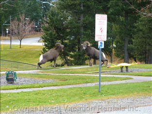 Big Horned Sheep Roaming the Streets of Radium during their Annual Fall Rut
