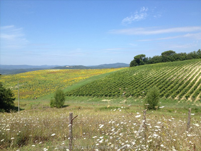 Our Vineyards that you Pass Coming to the Borgo