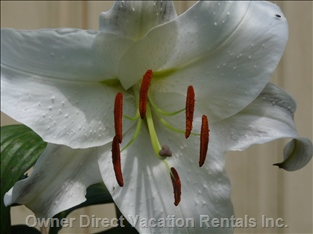 Patio is Perfumed with Casablanca Lilies