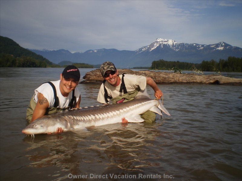 Sturgeon Fishing - Fraser River Sturgeon Fishing is a Popular Activity in Chilliwack BC. these Prehistoric Monsters Draw People in from all over the World to Have a Chance at Catching Them. Fraser River Salmon Fishing is Also Popular.