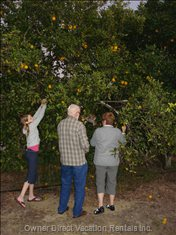 Pick your Very Own Oranges from the Community Orange Grove.