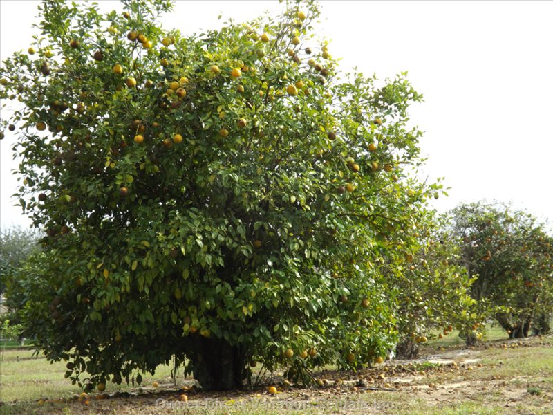 The Orange Groves of Orange Tree