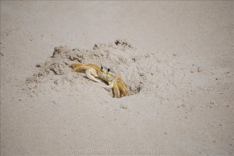 The Sand Fiddler Crabs are Great Fun for the Kids.
