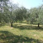 Between Olive Trees