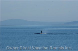 Excellent Wildlife Viewing - it'S a Wonderful Experience to Watch the Orca Play as they Pass through Puget Sound.