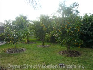 Your Own Private Citrus Trees - in Season - Orange, Tangerine, Grapefruit, Lemon, and Kumquat.