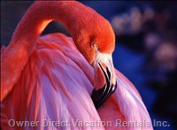 Seasonally, Beautiful Vibrant Pink Flamingos Can be Closely Seen!