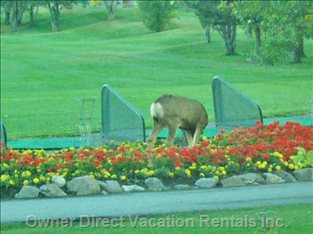 View from the Deck. Deer Eating the G.c. Flowers.