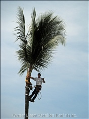 Aloha from the Palm Tree Trimmer.