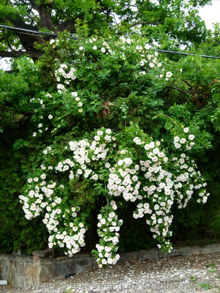 Cascading Champagne Climbing Rose