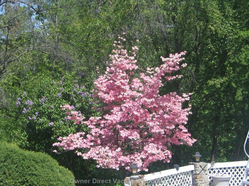 Pink Dogwood Tree  - Delightful Blooms Compliment the Special Moments beside the Sundeck Adjacent to the 47000 Gallon Swimming Pool