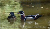 Wood Ducks on the Pond of Peace