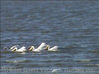Visitors White Pelicans