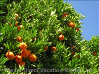 Oranges Growing on the Citrus Trees