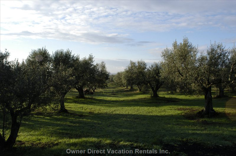 The Olive Grove around the Villa