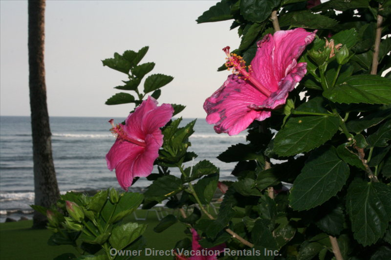 Hibiscus on the Condo Grounds