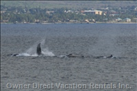 Humpback Whales Seen from the Lanai (in Season)