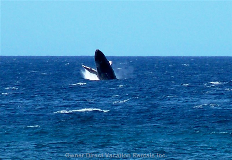 Watching the Whales Right from Lanai! (Nov-April)