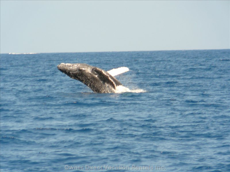 Humpback Whales Love West Maui in the Winter, Mid December to Mid April