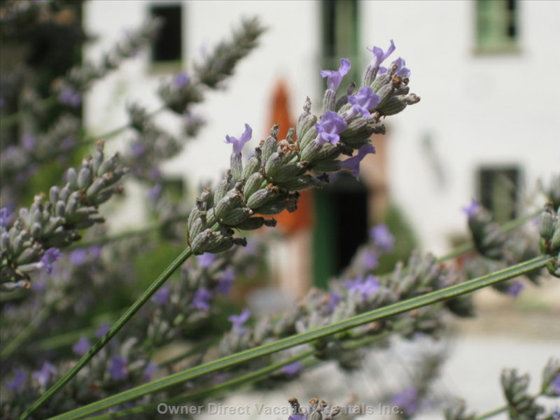 The Country House is Surrounded by a Carefully Maintained Garden Full of Lavender and other Mediterranean Plants