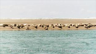 Seals Nest on Sandbars between the Bay and the Ocean...