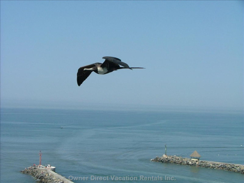 A Local Frigate Bird Gliding by the Ocean Terrace Balcony