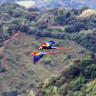Scarlet Macaws ... A Bird Lovers Paradise