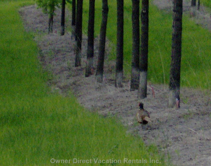 Pheasant Wandering through the Walnut Grove