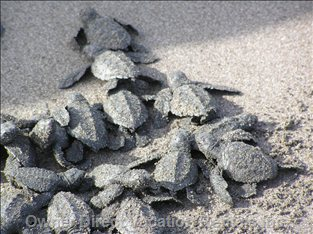 Baby Olive Ridley Turtle Hatch