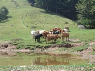 Free Cows in the Surroundings