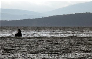A Special Visit by a Pod of Orcas Right in Front of the Cottage.