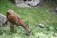 Oh Deer! - another Local Visitor to the Yard.