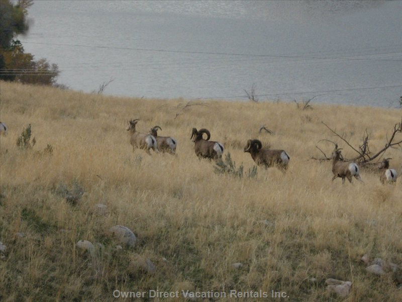 In Spring Time you Will See the Bighorn Sheep While you Hike South near Vaseaux Lake.