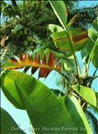 Just one Shot of the Tropical Foliage on Property- Bird of Paradise and Coconut Palm