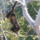 Howler Monkey Eating from our Tree